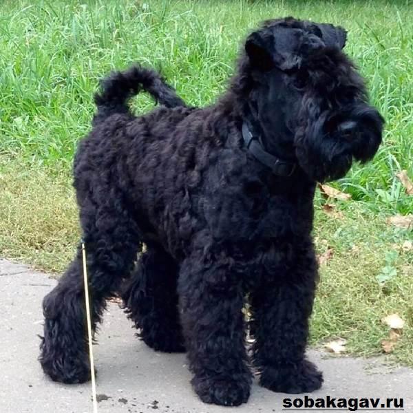 Керри-блю-терьер-собака-Описание-особенности-уход-и-цена-породы-1