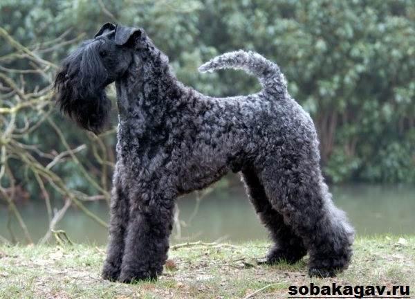 Керри-блю-терьер-собака-Описание-особенности-уход-и-цена-породы-10