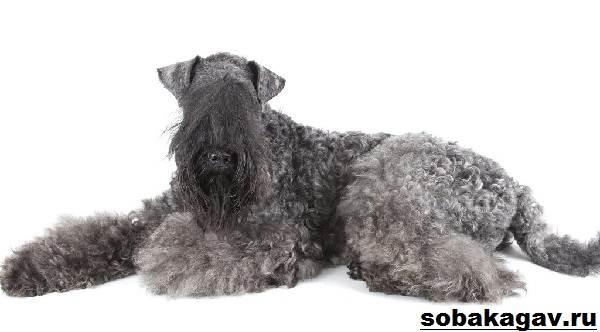 Керри-блю-терьер-собака-Описание-особенности-уход-и-цена-породы-2