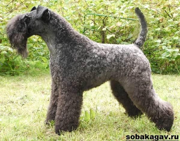 Керри-блю-терьер-собака-Описание-особенности-уход-и-цена-породы-3