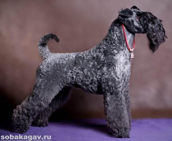 Керри-блю-терьер-собака-Описание-особенности-уход-и-цена-породы-4