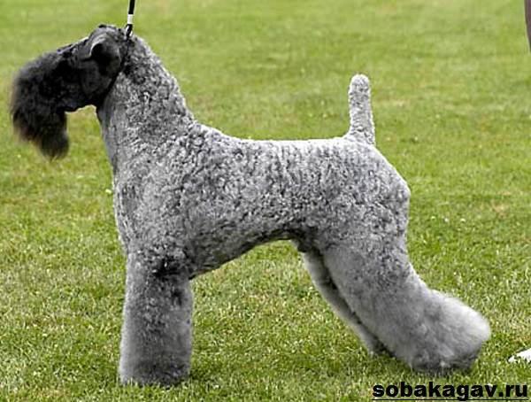 Керри-блю-терьер-собака-Описание-особенности-уход-и-цена-породы-5