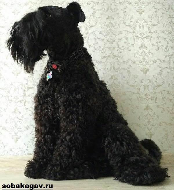 Керри-блю-терьер-собака-Описание-особенности-уход-и-цена-породы-6