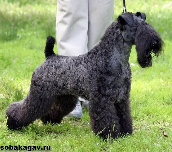Керри-блю-терьер-собака-Описание-особенности-уход-и-цена-породы-7