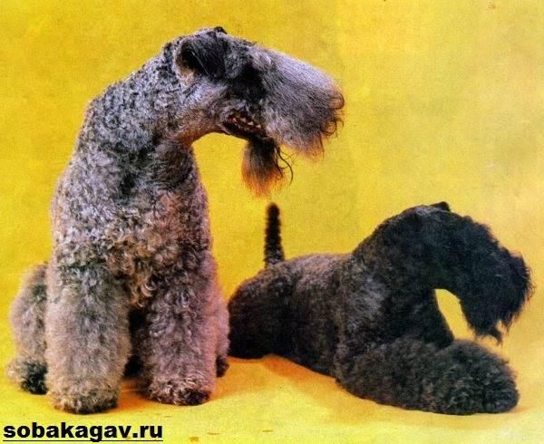 Керри-блю-терьер-собака-Описание-особенности-уход-и-цена-породы-8