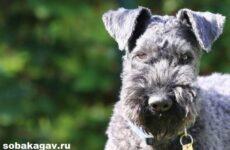 Керри блю терьер собака. Описание, особенности, уход и цена породы