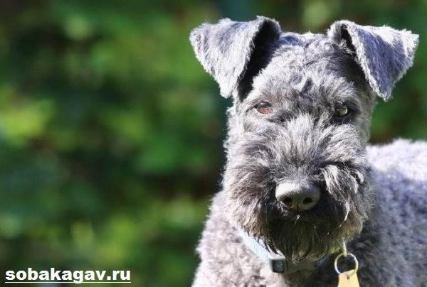 Керри-блю-терьер-собака-Описание-особенности-уход-и-цена-породы-9