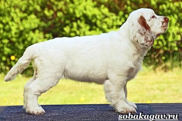 Кламбер-спаниель-собака-Описание-особенности-уход-и-цена-породы-1