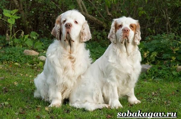 Кламбер-спаниель-собака-Описание-особенности-уход-и-цена-породы-4