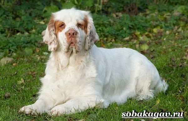 Кламбер-спаниель-собака-Описание-особенности-уход-и-цена-породы-6