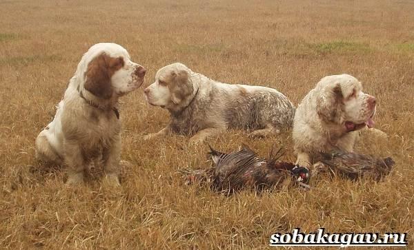 Кламбер-спаниель-собака-Описание-особенности-уход-и-цена-породы-8