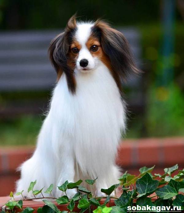 Континентальный-той-спаниель-собака-Описание-уход-и-цена-породы-1