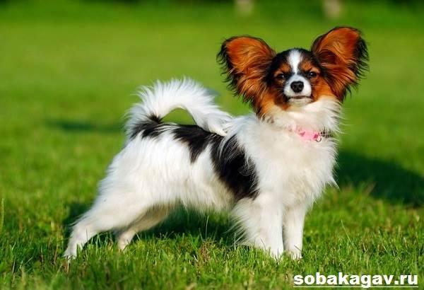 Континентальный-той-спаниель-собака-Описание-уход-и-цена-породы-10