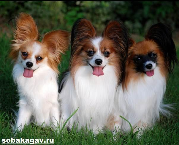 Континентальный-той-спаниель-собака-Описание-уход-и-цена-породы-3
