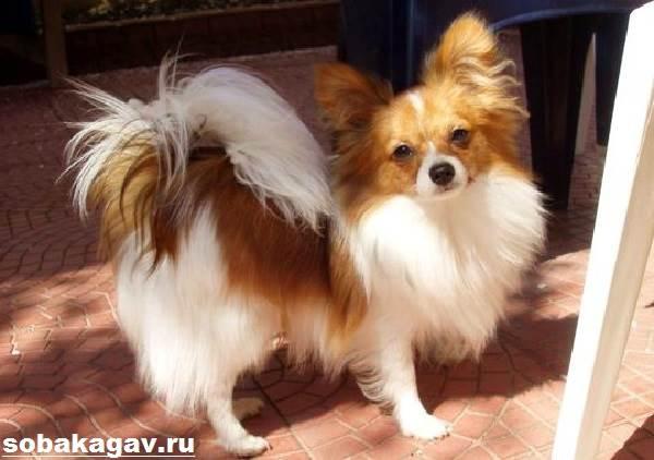 Континентальный-той-спаниель-собака-Описание-уход-и-цена-породы-4