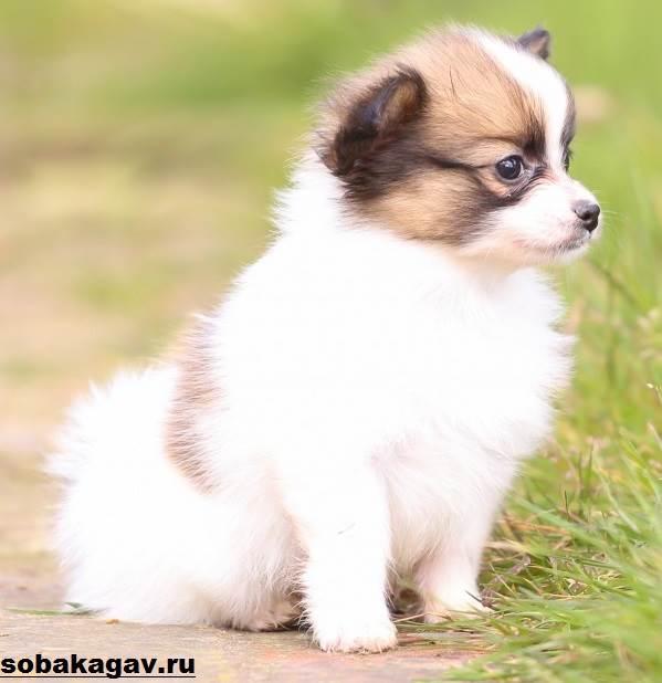 Континентальный-той-спаниель-собака-Описание-уход-и-цена-породы-6