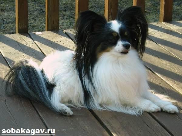 Континентальный-той-спаниель-собака-Описание-уход-и-цена-породы-7