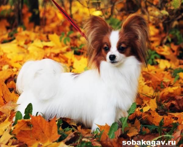 Континентальный-той-спаниель-собака-Описание-уход-и-цена-породы-9