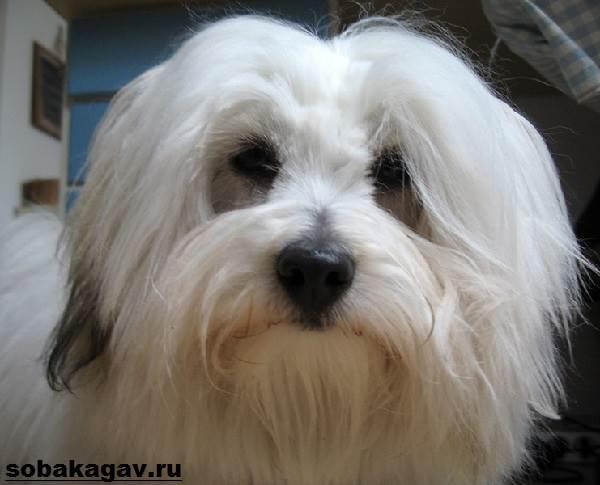 Котон-де-тулеар-собака-Описание-особенности-уход-и-цена-породы-1