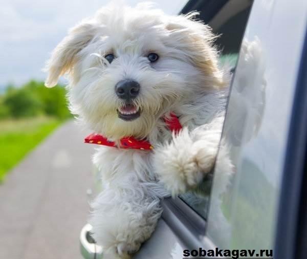 Котон-де-тулеар-собака-Описание-особенности-уход-и-цена-породы-3