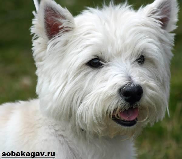 Котон-де-тулеар-собака-Описание-особенности-уход-и-цена-породы-4