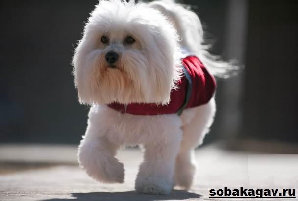 Котон-де-тулеар-собака-Описание-особенности-уход-и-цена-породы-5