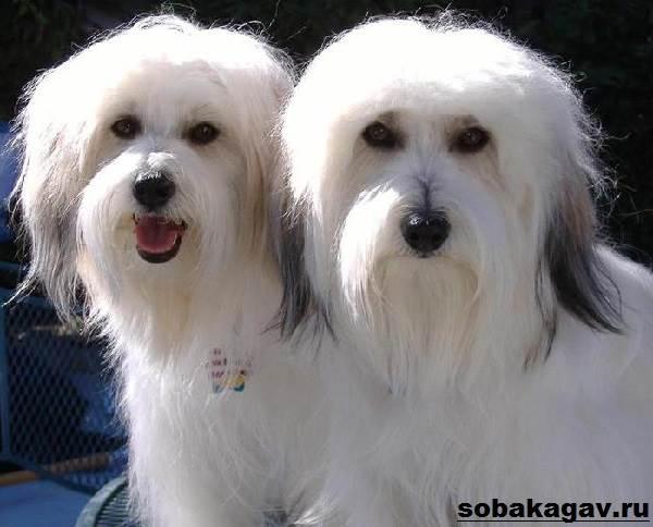 Котон-де-тулеар-собака-Описание-особенности-уход-и-цена-породы-6