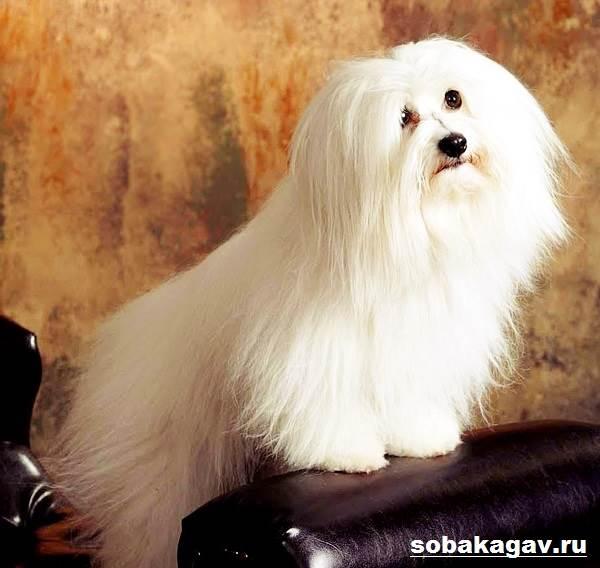 Котон-де-тулеар-собака-Описание-особенности-уход-и-цена-породы-7