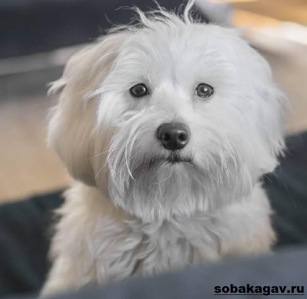 Котон-де-тулеар-собака-Описание-особенности-уход-и-цена-породы-8