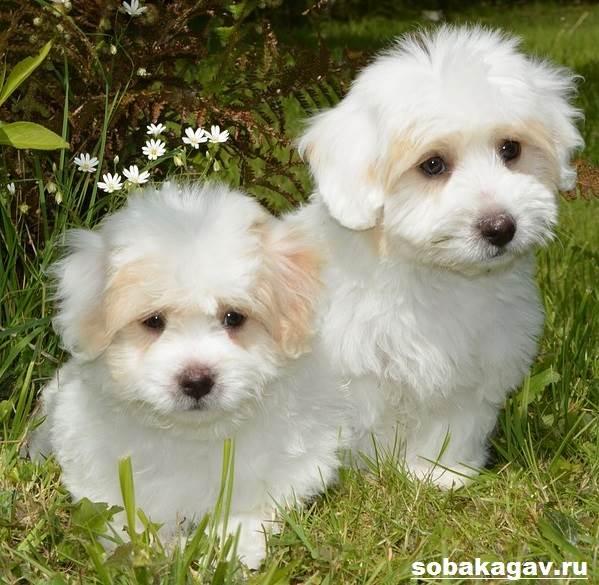 Котон-де-тулеар-собака-Описание-особенности-уход-и-цена-породы-9