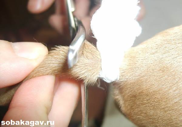 Купирование-хвоста-у-собак-4
