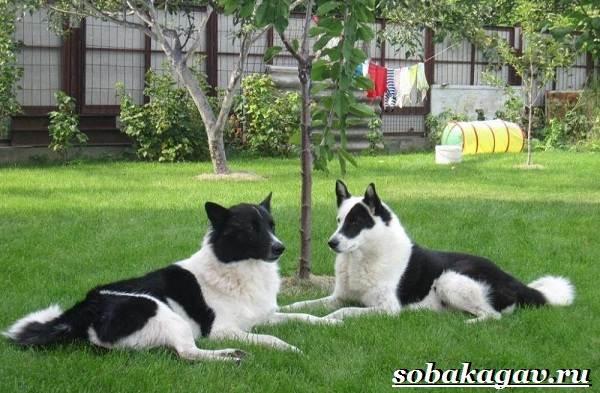 Русско-европейская-лайка-собака-Описание-особенности-уход-и-цена-породы-1