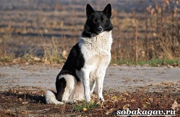 Русско-европейская-лайка-собака-Описание-особенности-уход-и-цена-породы-10
