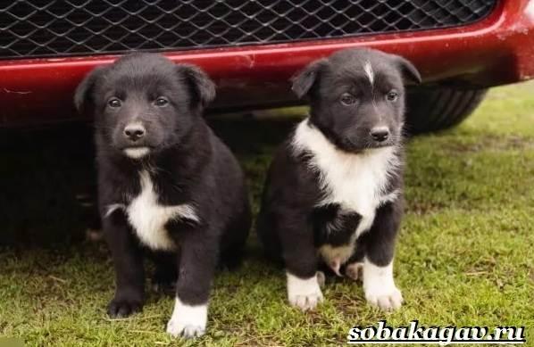 Русско-европейская-лайка-собака-Описание-особенности-уход-и-цена-породы-11