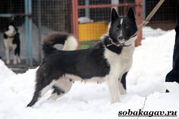 Русско-европейская-лайка-собака-Описание-особенности-уход-и-цена-породы-2