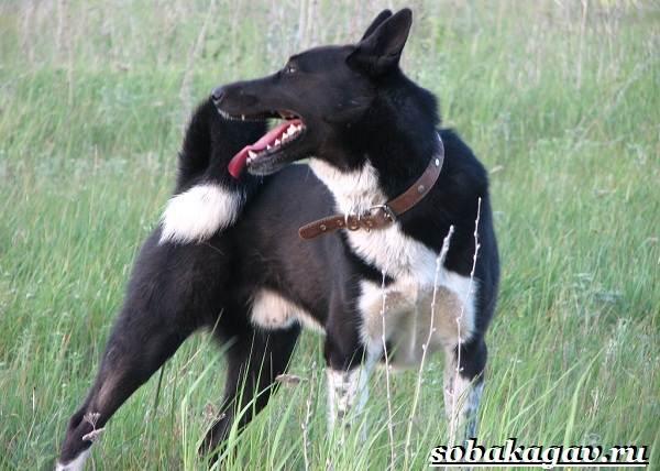 Русско-европейская-лайка-собака-Описание-особенности-уход-и-цена-породы-4