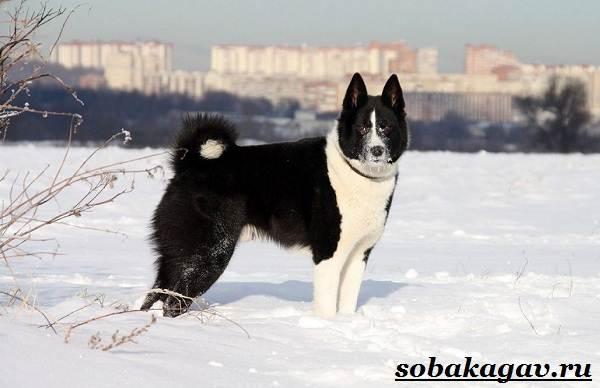Русско-европейская-лайка-собака-Описание-особенности-уход-и-цена-породы-6
