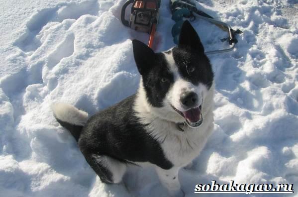 Русско-европейская-лайка-собака-Описание-особенности-уход-и-цена-породы-7