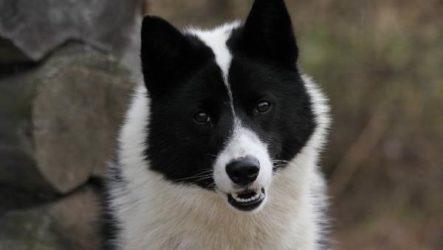Русско-европейская лайка собака. Описание, особенности. уход и цена породы
