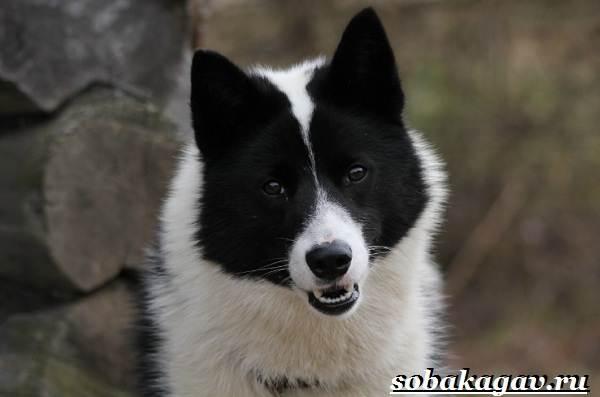 Русско-европейская-лайка-собака-Описание-особенности-уход-и-цена-породы-9