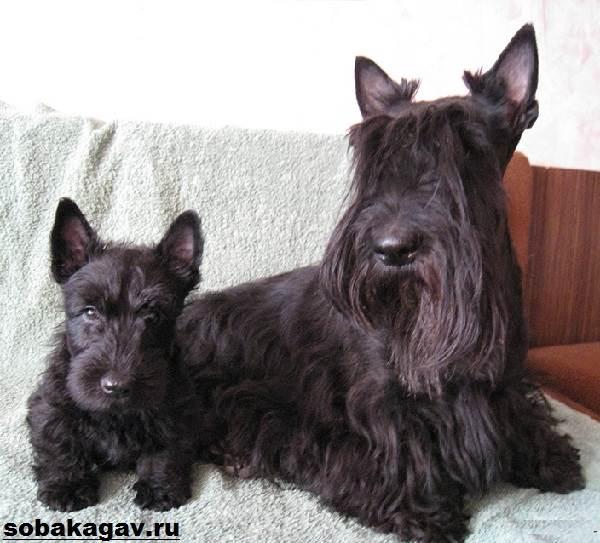 Скотч-терьер-собака-Описание-особенности-уход-и-цена-скотч-терьера-2