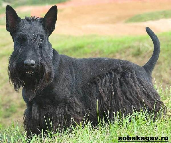 Скотч-терьер-собака-Описание-особенности-уход-и-цена-скотч-терьера-4