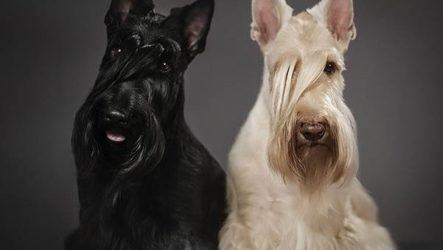 Скотч терьер собака. Описание, особенности, уход и цена скотч терьера