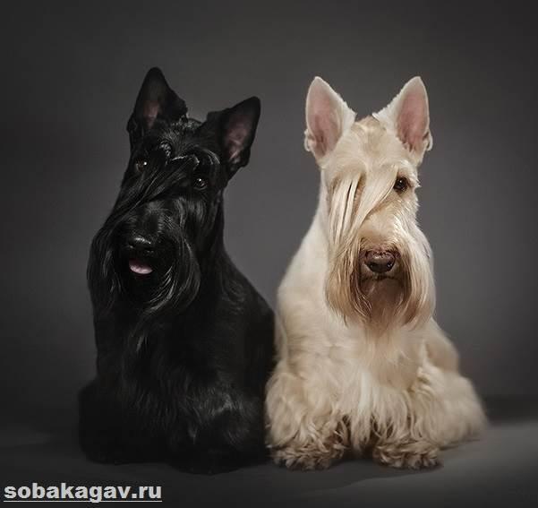 Скотч-терьер-собака-Описание-особенности-уход-и-цена-скотч-терьера-5