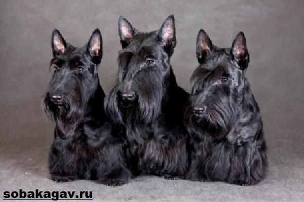 Скотч-терьер-собака-Описание-особенности-уход-и-цена-скотч-терьера-6