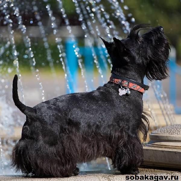 Скотч-терьер-собака-Описание-особенности-уход-и-цена-скотч-терьера-8