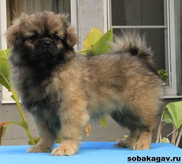 Тибетский-спаниель-собака-Описание-особенности-уход-и-цена-породы-10