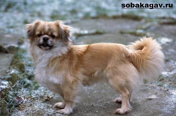 Тибетский-спаниель-собака-Описание-особенности-уход-и-цена-породы-2