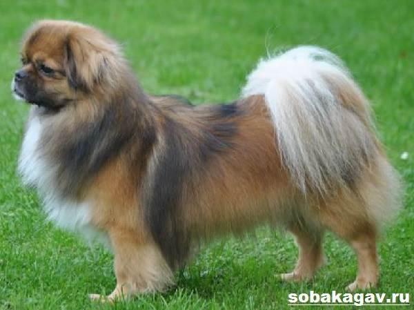 Тибетский-спаниель-собака-Описание-особенности-уход-и-цена-породы-3