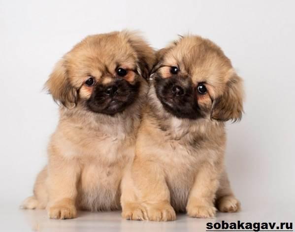 Тибетский-спаниель-собака-Описание-особенности-уход-и-цена-породы-4
